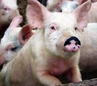 Скандал: Свиноферма для мусульман?!