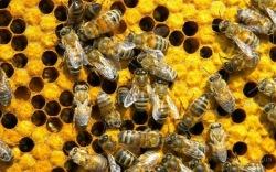 Аллах внушил пчелам новую команду?