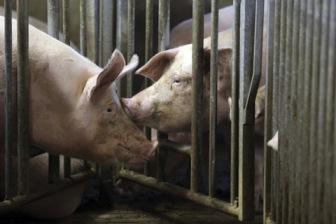 Франция: битва за свиную идентичность